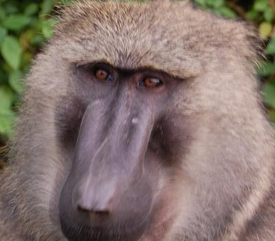 baboons uganda safari