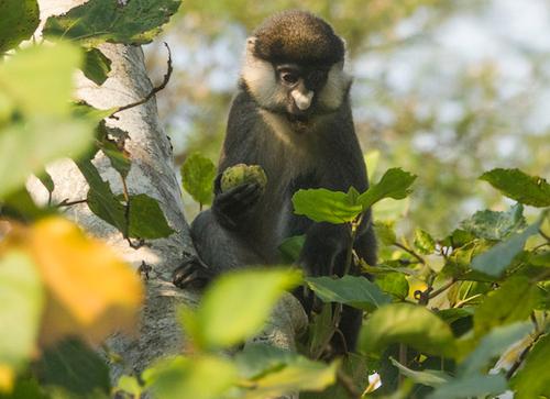 red tailed colobus monkey kibale uganda
