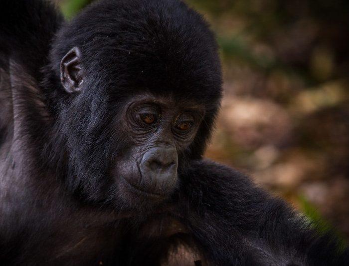 Primate Watching in Uganda