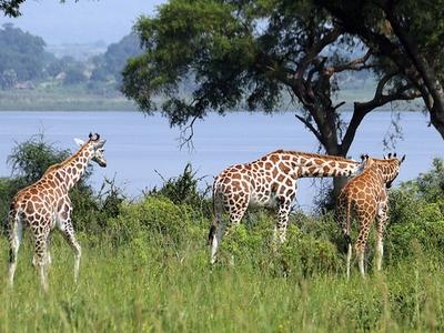 wild giraffe safari